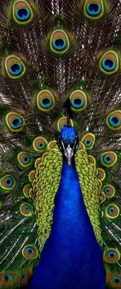 páva madár állat